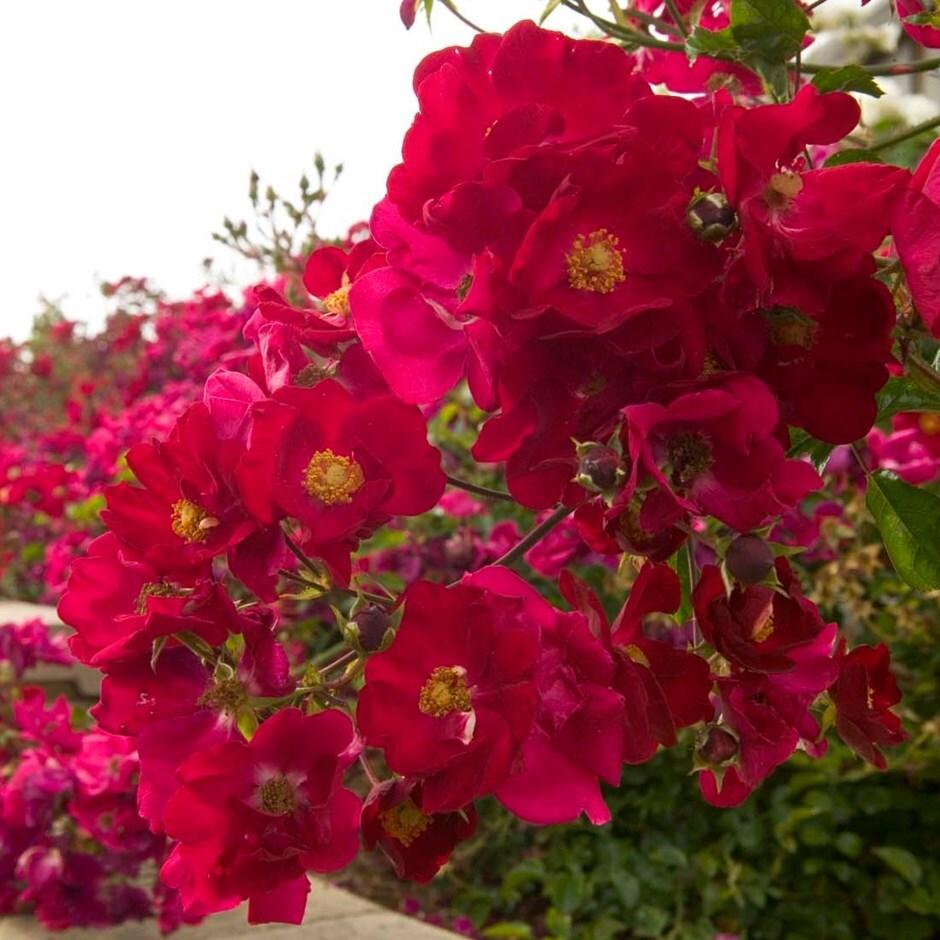 rose Flower Carpet Red Velvet (ground cover rose)