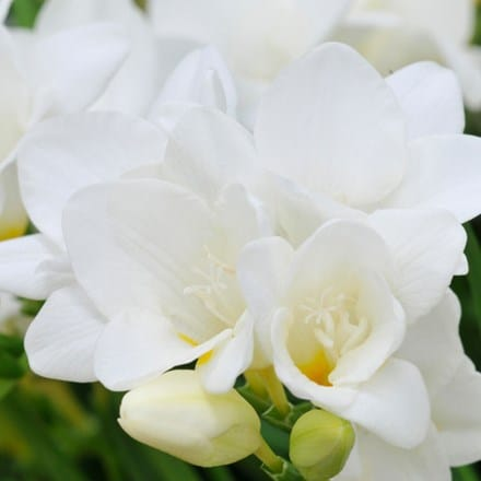 Freesia White