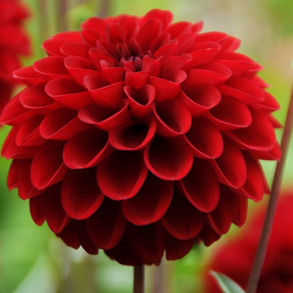 Buy Ball Dahlia Tuber Dahlia Red Fox Pbr Delivery By
