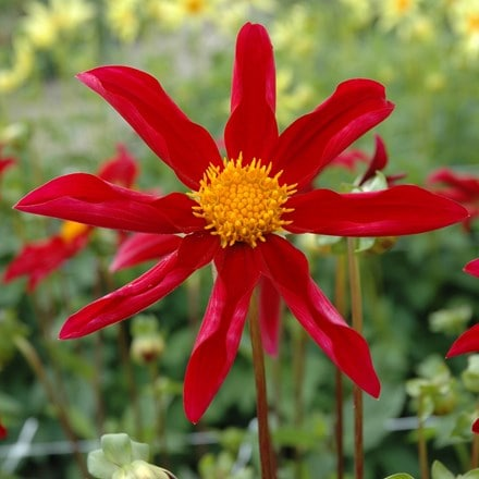 Dahlia Honka Red
