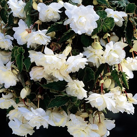 Begonia (Pendula Group) White Giant