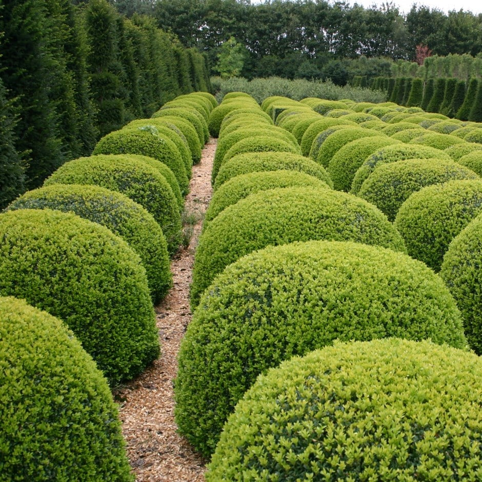 Buy Common Box Ball Buxus Sempervirens Delivery By