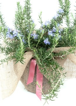 rosemary / (syn Salvia rosmarinus )  Prostratus Group