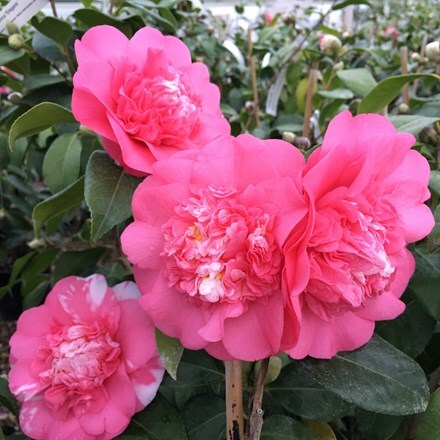 Camellia japonica Elegans