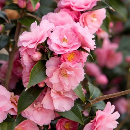 Camellia Spring Festival (cuspidata hybrid)