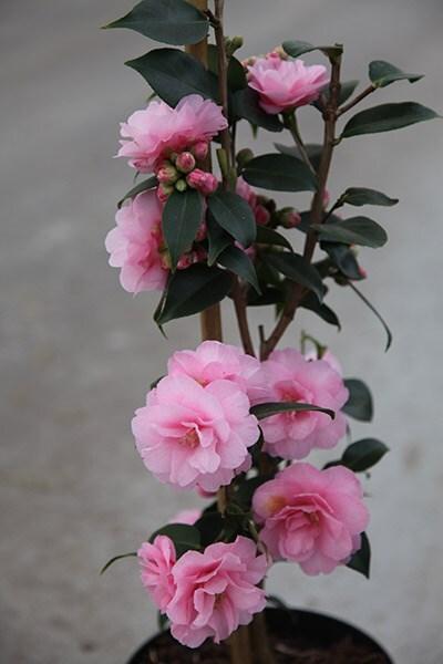 Buy Camellia Camellia Spring Festival Cuspidata Hybrid