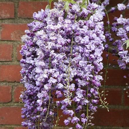 Wisteria floribunda Yae-kokuryu