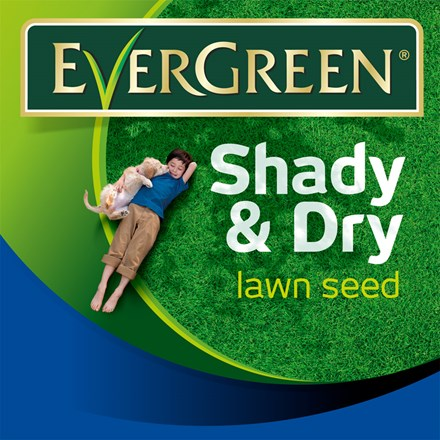 Evergreen shady and dry lawn grass seed