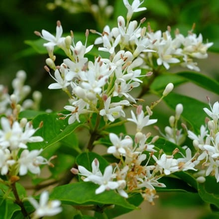 Ligustrum sinense Fragrant Cloud (PBR)