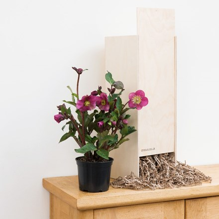 Helleborus Anna's Red - Gift Crate