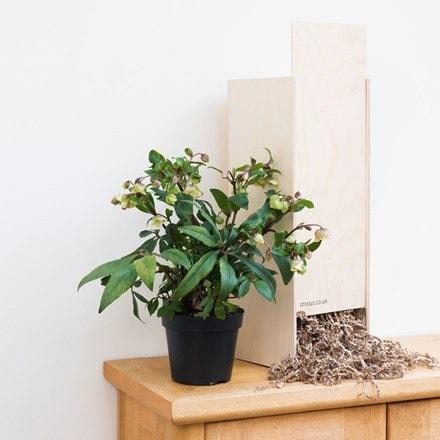 Helleborus × sahinii Winterbells - Gift Crate