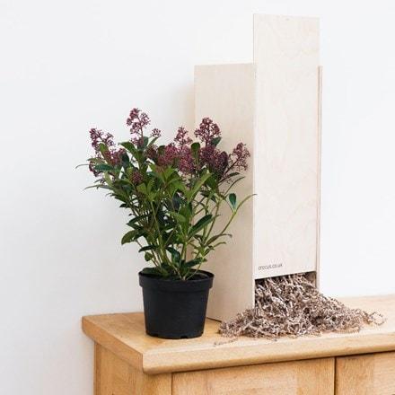 Skimmia japonica Rubella - Gift Crate