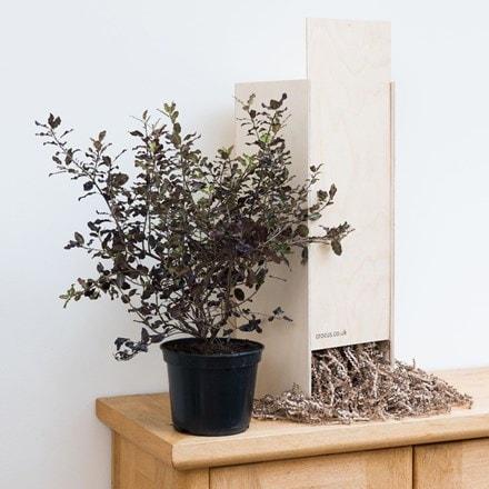 Pittosporum tenuifolium Variegatum - Gift Crate