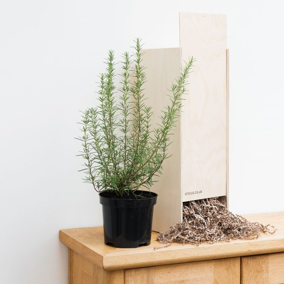 Rosemary 'Miss Jessopp's Upright' -  Gift Crate