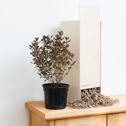 Pittosporum tenuifolium Tom Thumb - Gift Crate