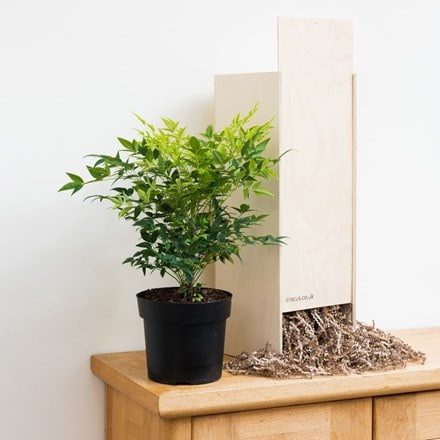 Nandina domestica Magical Lemon and Lime - Gift Crate