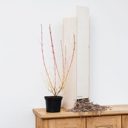Cornus sanguinea Midwinter Fire - Gift Crate
