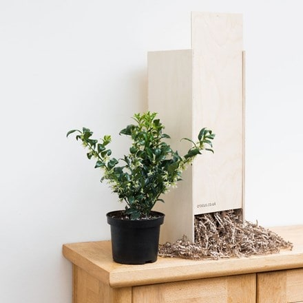 Sarcococca confusa - Gift Crate
