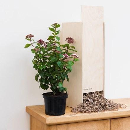 Viburnum tinus Lisarose (PBR) - Gift Crate