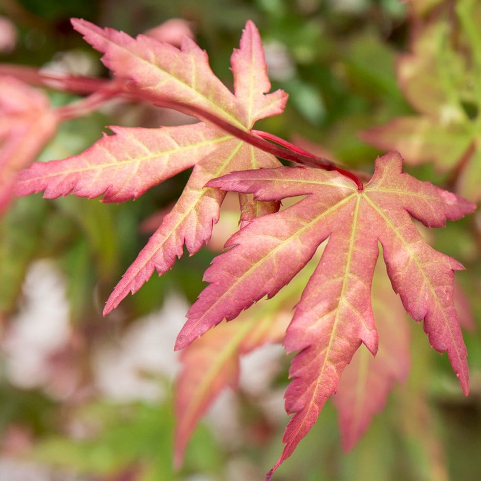 Buy Japanese Maple Acer Palmatum Red Wine 2999 Delivery By Crocus