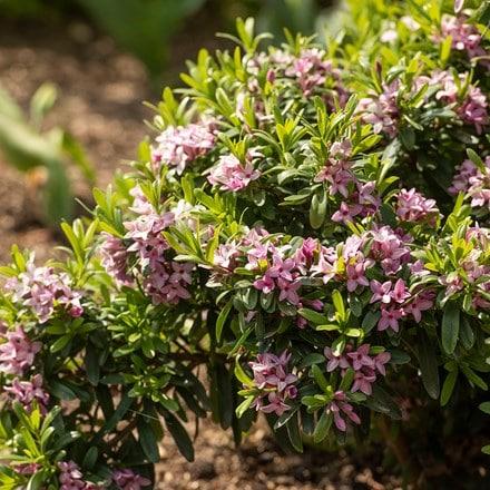 Daphne × transatlantica Pink Fragrance ('Blapink') (PBR)