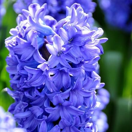 Hyacinthus orientalis Delft Blue