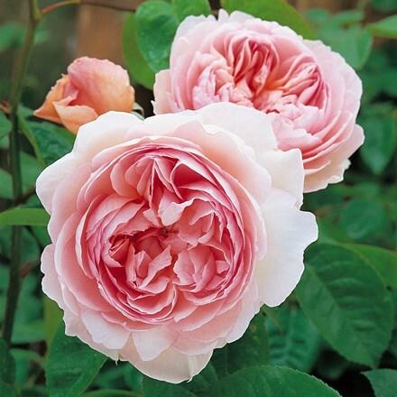 Rosa Gentle Hermione ('Ausrumba') (PBR)