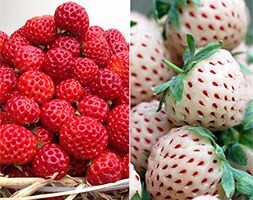 pineberry & framberry
