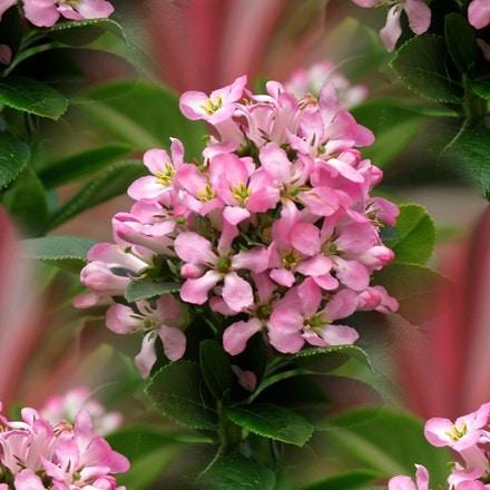 Escallonia laevis Pink Elle ('Lades') (PBR)