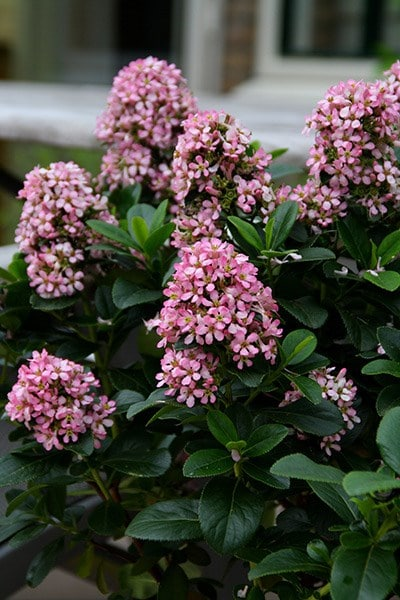 Buy Escallonia Escallonia Laevis Pink Elle Lades Pbr