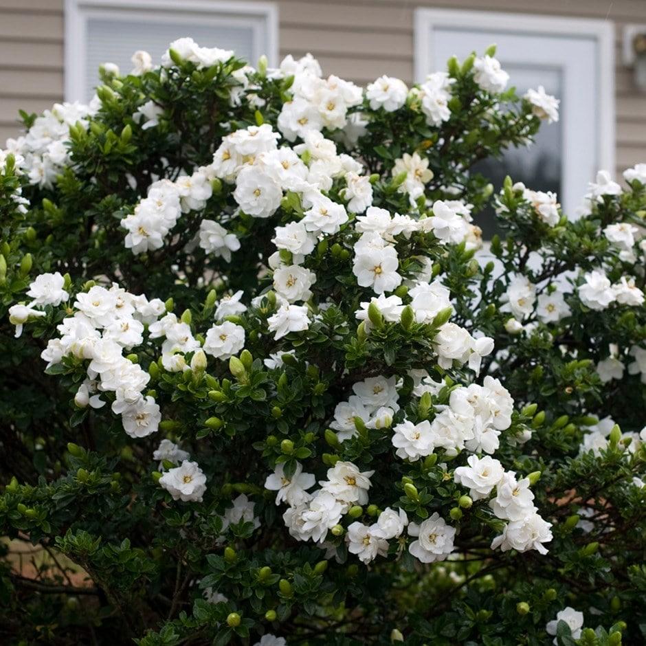 Buy Gardenia Gardenia Jasminoides Crown Jewel Pbr 9 99 Delivery By Crocus