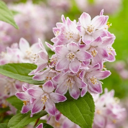 Deutzia Raspberry Sundae ('Low 18') (PBR)
