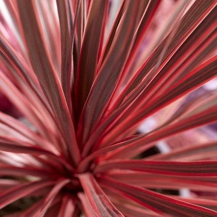 Cordyline australis Charlie Boy ('Ric01') (PBR)