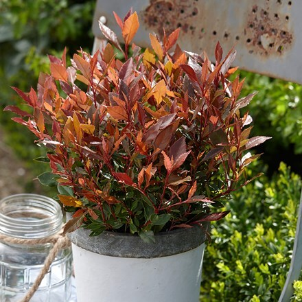 Photinia × fraseri Chico ('BR2011') (PBR)