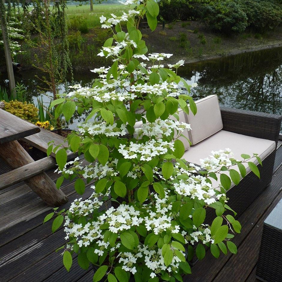 buy viburnum viburnum plicatum f 39 tomentosum kilimanjaro 39. Black Bedroom Furniture Sets. Home Design Ideas