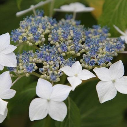 Hydrangea macrophylla Lanarth White
