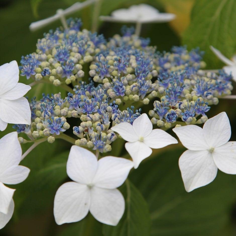 buy lacecap hydrangea hydrangea macrophylla lanarth white delivery by crocus. Black Bedroom Furniture Sets. Home Design Ideas