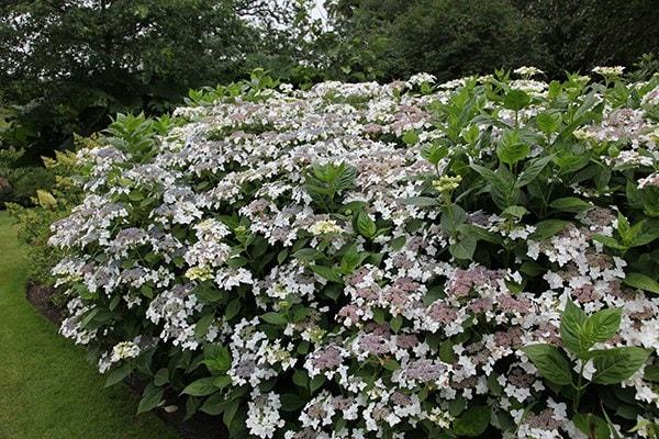 buy lacecap hydrangea hydrangea macrophylla 39 lanarth white. Black Bedroom Furniture Sets. Home Design Ideas
