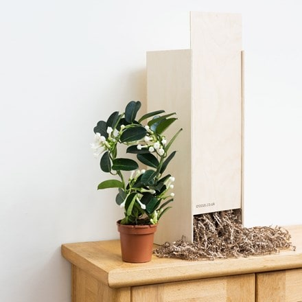 Stephanotis floribunda - Gift Crate