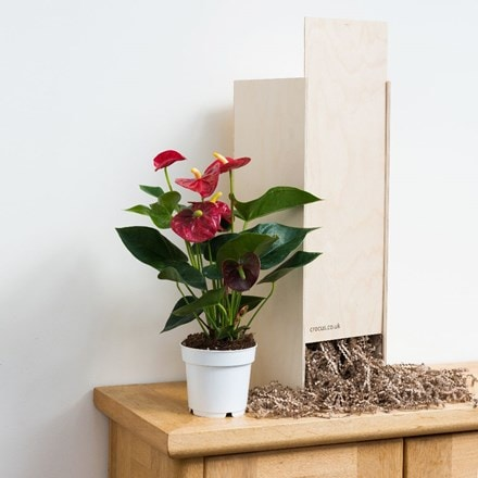Anthurium Red Champion - Gift Crate
