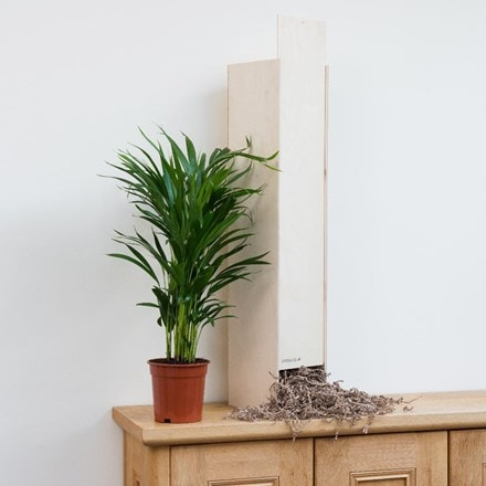 Dypsis lutescens - Gift Crate