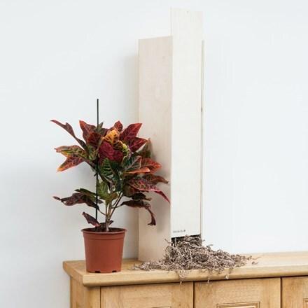 Codiaeum variegatum var. pictum Excellent - Gift Crate
