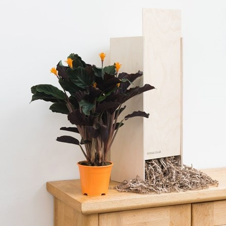 Goeppertia crocata Tassmania - Gift Crate