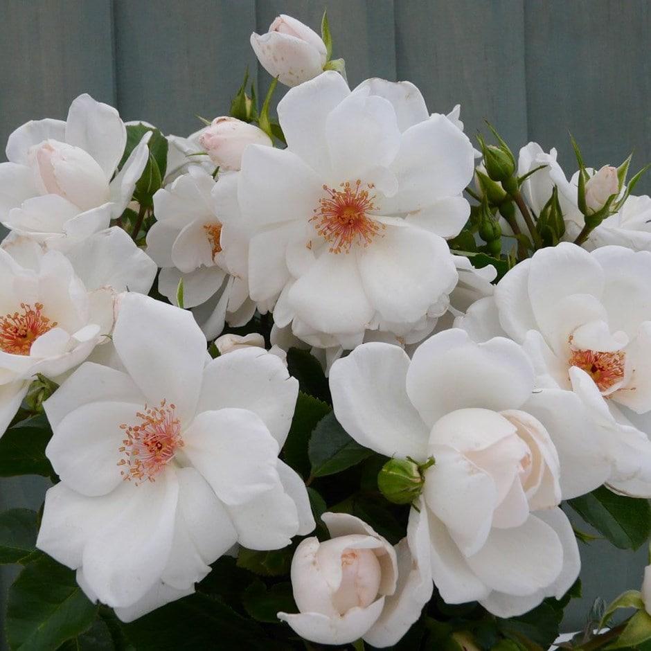 Rose of the Year 2019 - rose Starlight Symphony (climbing)