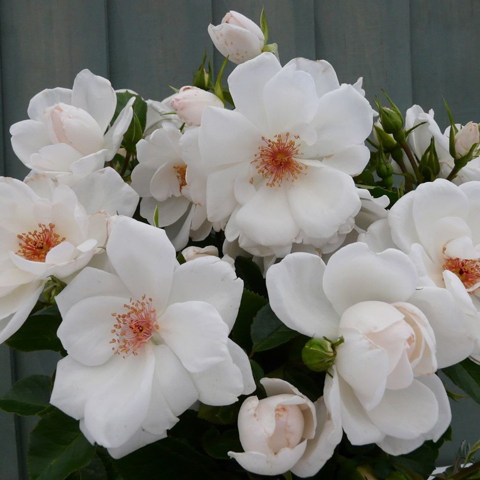 Rose of the Year 2019 - rose Starlight Symphony (climbing)