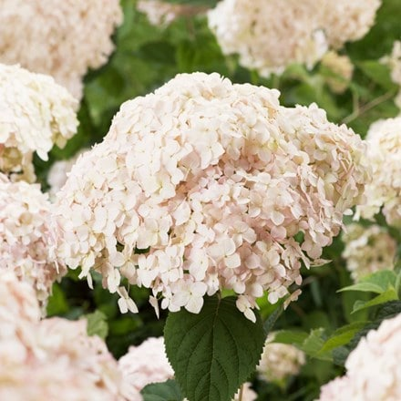 Hydrangea Candybelle Marshmallow (PBR)