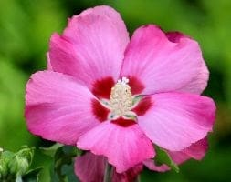 tree hollyhock