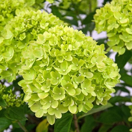Hydrangea paniculata Little Lime ('Jane') (PBR)