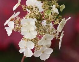 oak-leaved hydrangea