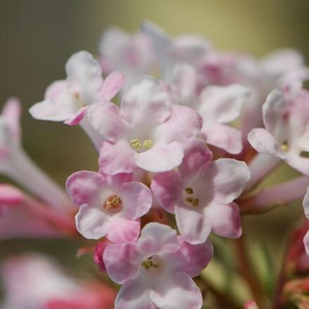 Viburnum × bodnantense Charles Lamont